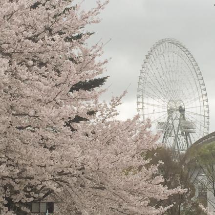 桜満開の施設にて打ち合せ